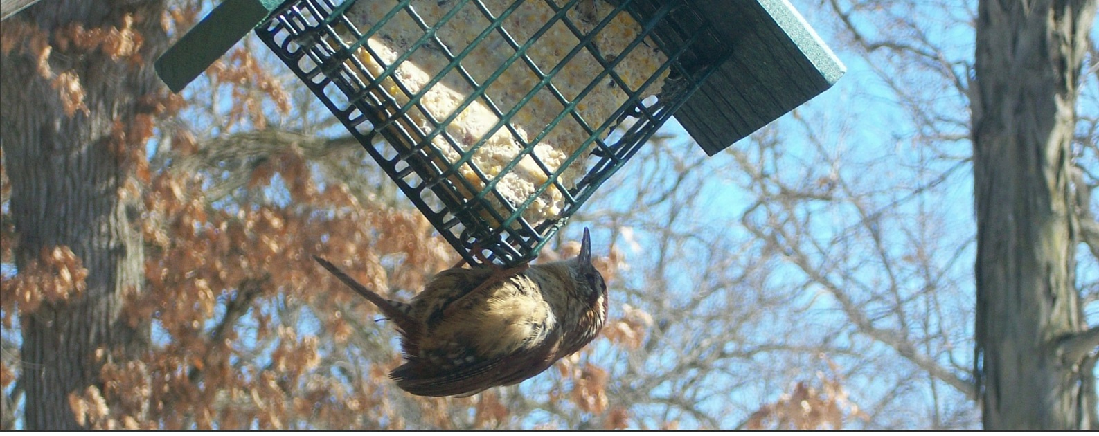 Great Backyard Bird Count   Scott County, Iowa