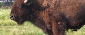 photo of buffalo at the homestead
