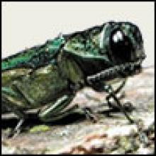 This is the Emerald Ash Borer.