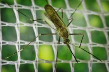 Close up of a mosquito on a screen.
