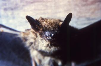 Bat,Rabies