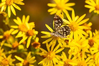 Butterfly drinks nectar from a yellow flower