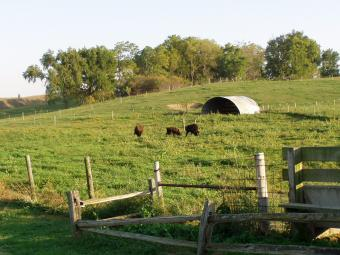 A field of cows and buffalo.