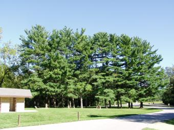 A row of trees in the campground.