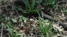Spring Wild Leek Video at Wapsi Environmental Center.